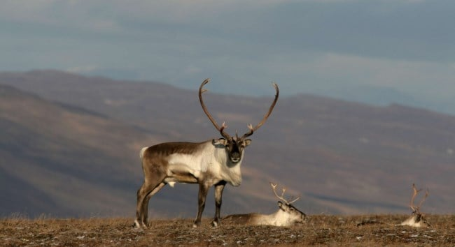 Reindeer Welcome to East Iceland